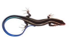 błękitny jaszczurki skink ogon Fotografia Royalty Free