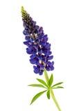 Błękitny kwiatu lupine odizolowywający Zdjęcie Royalty Free