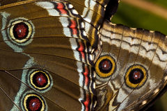 błękitny motyli morpho Obraz Royalty Free