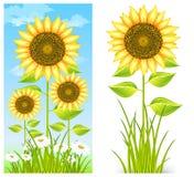 błękitny słoneczniki Zdjęcie Stock