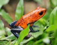 błękitny strzałki żaby cajgi trują truskawki Zdjęcie Stock