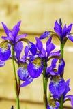 Błękitnych irysów kwiatonośne rośliny Zdjęcia Stock