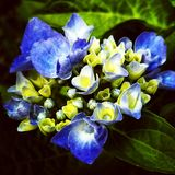 Blue - yellow hydrangea with green leaves stock photography