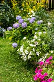 Bkue hydrangea, white and pink petunia in the garden. Beautiful, Summer flowers in the home garden, blue hydrangeas and petunias royalty free stock image