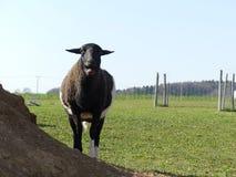 Blöher fårkamerun i den svartvita naturen arkivfoton