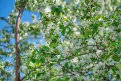 Blühender weißer Apfelbaumschuß in der Mitte mit einer Weichzeichnung mit einem Stück des Himmels im Hintergrund lizenzfreies stockbild