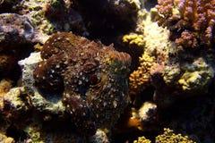 bläckfisk Royaltyfri Bild