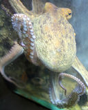 bläckfisk Fotografering för Bildbyråer