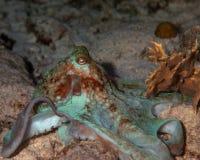 bläckfisk Royaltyfri Foto