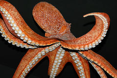 bläckfisk arkivfoto