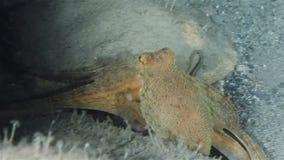 bläckfisk arkivfilmer