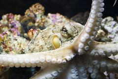 bläckfisk Royaltyfria Bilder