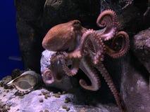 bläckfisk Arkivfoton