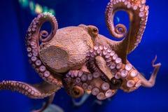 Bläckfisk i akvarium Arkivbild