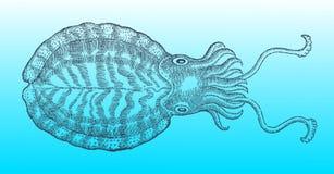Bläckfisk i bästa sikt efter en historisk eller tappningträsnittillustration från det 16th århundradet Arkivfoto