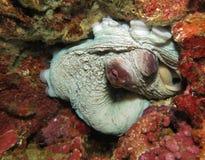 Bläckfisk i reven (Moalboal - Cebu - Filippinerna Arkivbilder