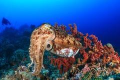 Bläckfisk och dykare Royaltyfria Bilder