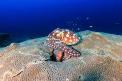 Bläckfisk på en korall Fotografering för Bildbyråer