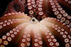 bläckfiskar två Royaltyfri Bild