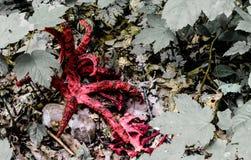 Bläckfiskstinkhorn - röda spensliga armar Arkivfoto