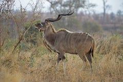 Bläddra den Kudu tjuren Arkivbild