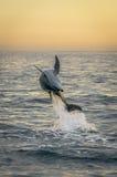 Bläddring av delfinen på soluppgången Royaltyfria Foton