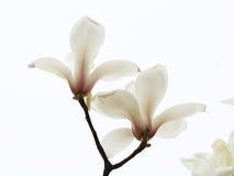 Bländande magnoliablomma Arkivfoto