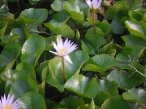 Bländande purpurfärgad lotusblomma för sommar Royaltyfri Foto