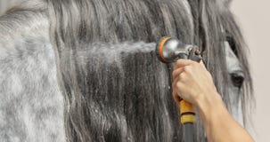 Blänka länge man av den gråa hästen tvättar sig med vatten från slangen Royaltyfri Bild