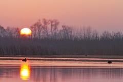Blässhühner an der Sonnenaufgangmitte des Sees stockfoto
