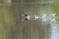 Blässhühner Fulica atra, das aggressives kämpfendes Territorialverhalten im Vorfrühling und Betrieb über einem noch ruhigen See z stockfotos