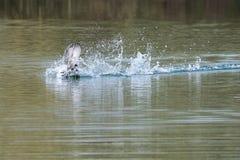 Blässhühner Fulica atra, das aggressives kämpfendes Territorialverhalten im Vorfrühling zeigt lizenzfreie stockbilder