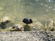 Blässhuhn auf Flussuferstein Lizenzfreie Stockbilder