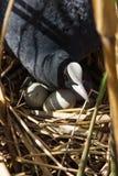 Blässhuhn auf Nest mit Eiern in den Schilfen Lizenzfreie Stockfotos
