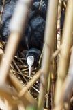 Blässhuhn auf Nest mit Eiern in den Schilfen Stockfoto