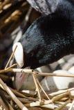 Blässhuhn auf Nest mit Eiern in den Schilfen Stockbilder