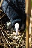 Blässhuhn auf Nest mit Eiern in den Schilfen Lizenzfreies Stockfoto