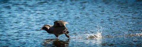 Blässhuhn, das auf Wasser läuft Lizenzfreie Stockfotos