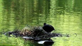 Blässhuhn, das ihr Nest, Brummen, die Niederlande steuert stock video footage