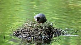 Blässhuhn, das ihre Eier, Brummen, die Niederlande rüttelt stock footage
