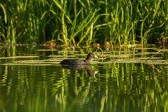 Blässhuhn mit Reflexion im Wasser Lizenzfreie Stockfotografie