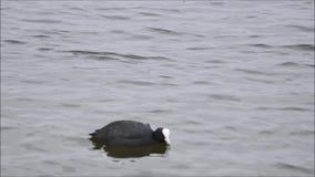 Blässhuhn swimms stock video