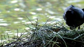 Blässhuhn und ihre Eier, Brummen, die Niederlande stock footage