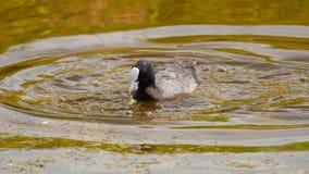 Blässhuhnschwimmen im Teich stock footage