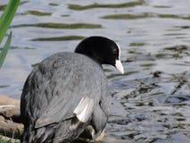 Blässhuhnvogel Stockfotografie