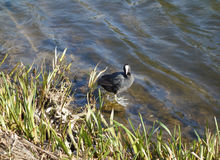 Blässhuhnvogeltier Lizenzfreie Stockbilder