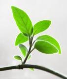 Blätter. Lizenzfreie Stockfotografie