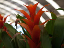 Blätter Aechmea-fasciata Stockbild