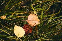 Blätter auf dem Gras Gefallene Blätter Trockenes Gelb verlässt, das der Wind in einer Luft nahe der goldenen Eichenwaldung dreht  lizenzfreies stockbild