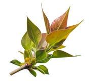Blätter auf dem Zweig Lizenzfreies Stockfoto
